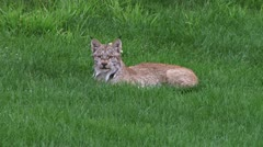 Lynx Lying on the Lawn Stock Footage