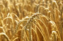 Stock Photo of Wheat