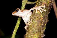 Broad headed treefrog (osteocephalus planiceps) preparing to jump. in the ecu Stock Photos