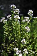 thyme herb - stock photo