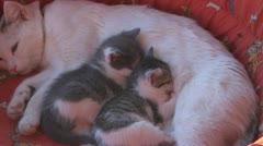 Sleepy kittens and gluttonous Stock Footage