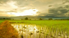 Rice farms - stock footage