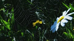 Spiderweb among Daisies with Dew Drops Stock Footage