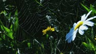 Stock Video Footage of Spiderweb among Daisies with Dew Drops