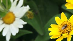 Flies on Daisies and Spider Web Rack Focus Stock Footage