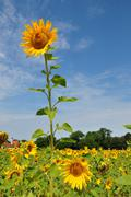 A large sunflower Stock Photos