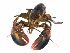 Northern lobster (homarus americanus) over white Stock Photos