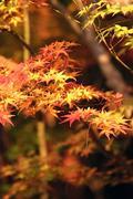 japanese fall foliage - stock photo