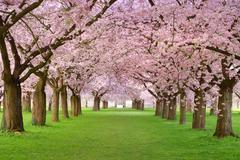 cherry blossoms plenitude - stock photo