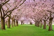 Stock Photo of cherry blossoms plenitude