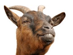 Cute brown goat's grin Stock Photos