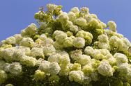 Viburnum shrub in flower, variety macrocephalum Stock Photos