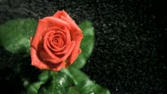 Red rose being watered in super slow motion Stock Footage