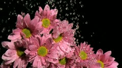 Water dripping in super slow motion on a pink daises Stock Footage