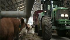 Dairy cows in the stable and tractor Stock Footage
