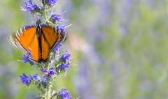 Motion blurred Monarch butterfly on indigo flowers - stock photo