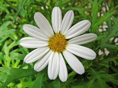 a marguerite flower - stock photo
