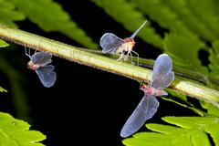 long winged plant bugs (hemiptera) on a fern leaf in rainforest, ecuador - stock photo