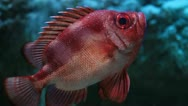 Stock Video Footage of Red Fish Close Up