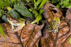 Two neotropical marbled treefrogs (dendropsophus marmoratus) on the rainfores Stock Photos