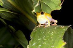 Upper amazon treefrog (dendropsophus bifurcus). calling male with vocal sac i Stock Photos
