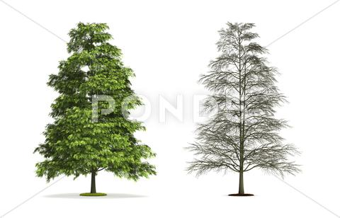 Stock Illustration of tree of heaven.