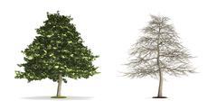 Alder tree. Stock Illustration