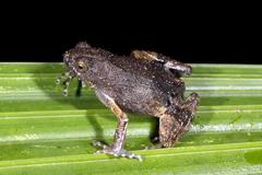 Peters' dwarf frog (engystomops petersi) Stock Photos