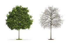 Small ash tree. Stock Illustration