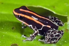 Stock Photo of amazonian poison frog (Ranitomeya ventrimaculatus).