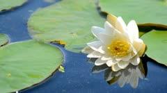 white lotus flower. - stock footage
