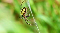 Wasp Spider - Argiope bruennichi - prey - stock footage