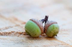 Acorns on Wood - stock photo