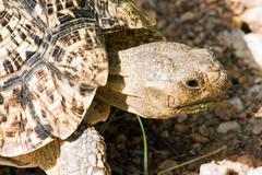 Tortoise (testudinidae) in namibia Stock Photos