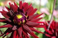 Stock Photo of scarlet dahlia