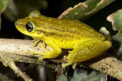 Red snouted treefrog (scinax ruber) in the ecuadorian amazon Stock Photos