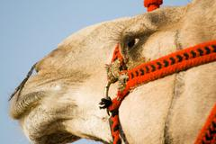 face of camel - stock photo