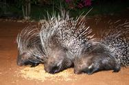 Stock Photo of porcupine