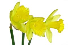trio of daffodils 4 - stock photo