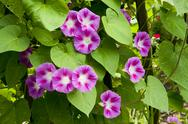 Morning glory vine Stock Photos