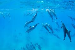 dolphins underwater - stock photo