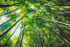 Bambu Kuvituskuvat