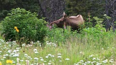 Browsing Moose Cow in Fireweed and Flower Meadow 1 Stock Footage