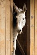 young white donkey - stock photo