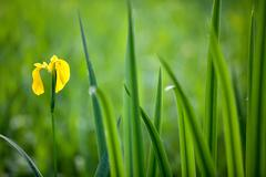 Wild yellow iris Stock Photos