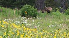 Moose Standing by Wildflower Meadow rack focus Stock Footage