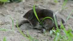 mammal Common shrew Sorex araneus on summer grass - stock footage