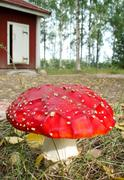 fly agaric mushroom, amanita muscaria - stock photo