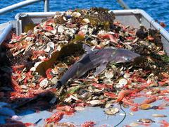 shark as bycatch - stock photo