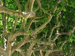 platanus  acerifolia - stock photo